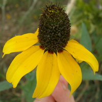Clasping.coneflower