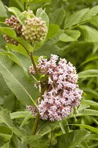 Common.milkweed
