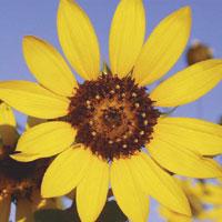 Common.sunflower