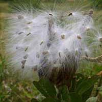 Green.milkweed