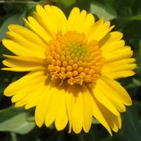 Huisache.daisy