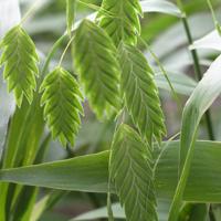 Inland.sea.oats