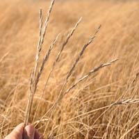 Western.wheatgrass